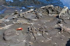 Cristatus de Galápagos Marine Iguanas Amblyrhynchus com Sally Lightfoot Crab na rocha da lava, Ilhas Galápagos fotos de stock royalty free