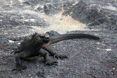 Cristatus de Marine Iguana Amblyrhynchus (Galápagos, Equador) Foto de Stock