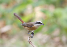 Cristatus del Lanius di Brown Shrike Fotografie Stock