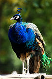 Cristatus del Pavo (pavo real azul) Foto de archivo