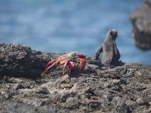 Cristatus di Galapagos Marine Iguana Amblyrhynchus e grapsus grapsus rosso del granchio di roccia Immagini Stock Libere da Diritti