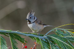 Cristatus di Lophophanes dell'uccello in fauna selvatica Fotografie Stock