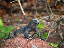 Cristatus do Amblyrhynchus da iguana marinha de Galápagos Fotos de Stock Royalty Free