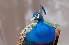 Cristatus indiano do Pavo do Peafowl do pássaro isolado imagem de stock royalty free
