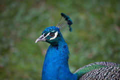 Cristatus indien de Pavo de peafowl image stock