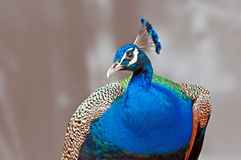 Cristatus indio del Pavo del Peafowl del pájaro aislado Imagen de archivo libre de regalías
