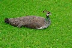 Cristatus Paonne-zoologique de Pavo de nom Images libres de droits
