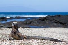 Cristatus van de Galapagos Marine Iguana Amblyrhynchus op een strand, Santiago Island, de Eilanden van de Galapagos, Ecuador royalty-vrije stock foto