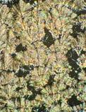 Cristaux d'acide ascorbique Image stock