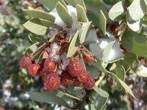 Cristaux roses de neige de Pringlei d'arctostaphylos de Manzanita sur un groupe de baies Photographie stock