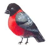 Cristmas bullfinch watercolor illustration Stock Photo