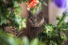 Cristmas cat Royalty Free Stock Photography