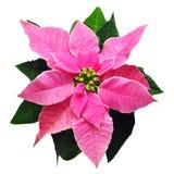 cristmass цветут пинк Стоковые Фотографии RF