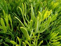crithmum食用植物通配岩石的samphire 库存照片