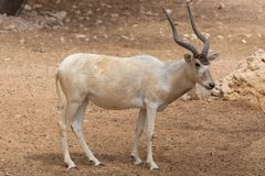 A critically endangered Addax Addax nasomaculatus also known as the screwhorn or white antelope. Stops to scratch its head in the desert sand has been stock images