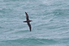 A critically endangered Balearic Shearwater in flight over thge ocean. A critically endangered Balearic Shearwater, Puffinus mauretanicus, in flight over the royalty free stock images