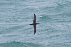 A critically endangered Balearic Shearwater in flight over thge ocean. A critically endangered Balearic Shearwater, Puffinus mauretanicus, in flight over the stock photography