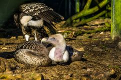 Critically endangered bird species, ruppell`s vulture laying on the ground, tropical griffon from the sahel region of Africa. A critically endangered bird stock photos
