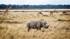 Critically Endangered Black Rhino in Africa. Critically endangered black rhinoceros walking in the grasslands of Kenya, Africa with Masai giraffe in the stock photo