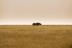 Critically endangered black rhinoceros in African savanna Stock Image
