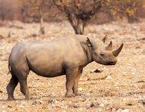 Critically endangered black rhinoceros. The black rhinoceros is critically endangered due to poachers who kill for their horns. This scarce animal was found in royalty free stock image