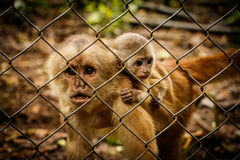 The critically endangered Ecuadorian Capuchin monkey. In captivity in Rescue centre, Ecuador royalty free stock photos