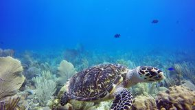 Critically endangered hawksbill sea turtle stock video footage