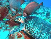 A Critically-Endangered Hawksbill w/ Angelfish. A critically endangered Hawksbill Sea Turtle munches on sponge while Gray Angelfish hover nearby to pick off stock photography