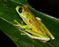 Critically endangered Lemur Leaf Frog Stock Images