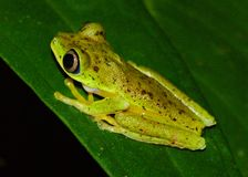 Critically endangered Lemur Leaf Frog royalty free stock photos
