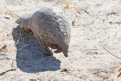 Critically endangered pangolin walking in the wild in Hwange National Park, Zimbabwe. A Critically endangered Pangolin seen walking forwards on the dry sandy royalty free stock photo