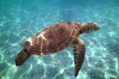 Critically endangered species eretmochelys imbricata hawksbill sea turtle. Swimming in turquoise water, petite terre, guadeloupe, french west indies royalty free stock photography