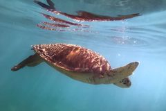 Critically endangered species Eretmochelys imbricata hawksbill sea turtle swimming. In turquoise water, petite terre, guadeloupe, french west indies royalty free stock photo