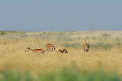 Critically endangered  wild Saiga antelopes in Kalmykia steppe Royalty Free Stock Photos