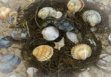 Critique despiadadamente en conchas marinas en el fondo sucio de la arena Foto de archivo