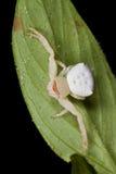Critique despiadadamente la araña Fotografía de archivo