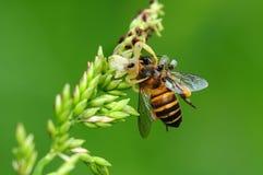 Critique despiadadamente la araña que come una abeja en el parque Fotos de archivo libres de regalías