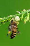 Critique despiadadamente la araña que come una abeja en el parque Imagen de archivo libre de regalías