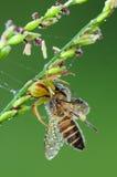 Critique despiadadamente la araña que come una abeja en el parque Foto de archivo libre de regalías