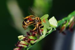 Critique despiadadamente la araña que come una abeja en el parque Fotografía de archivo