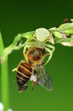 Critique despiadadamente la araña que come una abeja en el parque Fotos de archivo