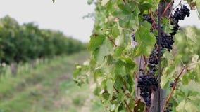 Critique el tiro de las filas de la vid por completo de uvas el día soleado metrajes