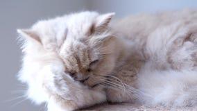 Critique el tiro del gato persa que limpia su palma almacen de metraje de vídeo