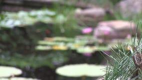 Critique a la izquierda de bonsais del pinus Radiata en un jardín japonés ajardinado, revela las flores rosadas en a waterlily metrajes