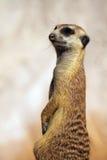 Critter curioso fotografie stock