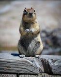 Critter della famiglia dello scoiattolo immagini stock libere da diritti