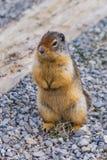 Critter - scoiattolo Fotografie Stock