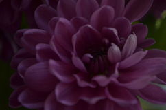 Crizantema Photos stock