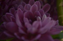 Crizantema Photo stock