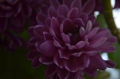 Crizantema Photos libres de droits
